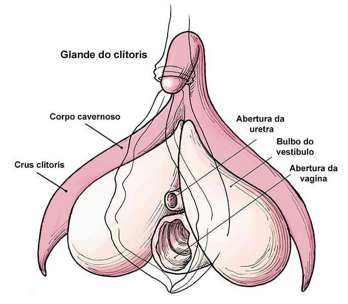 Anatomia do clitóris