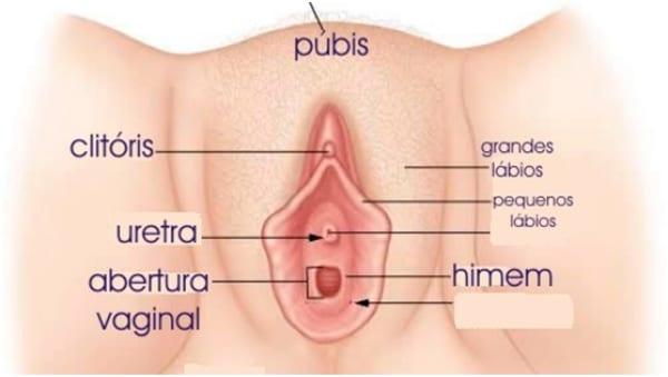 Anatomia vaginal (vulva)